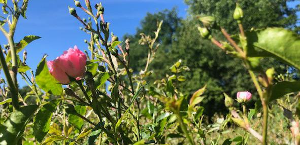 2 Vondelpark Rozenperk 2 Rosa The Fairy