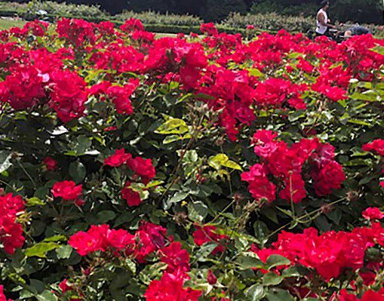 24 Vondelpark Rozenperk 24 Rosa Cera