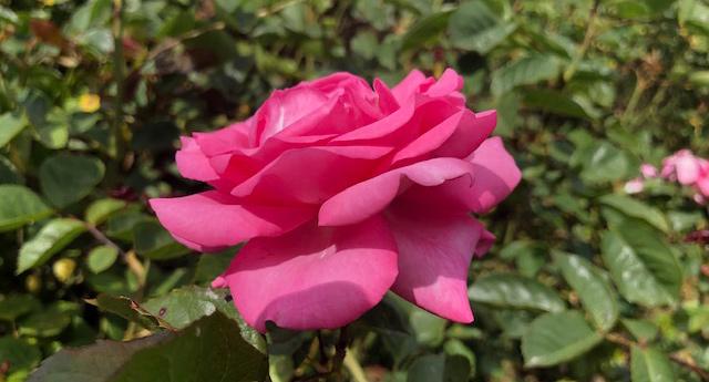 25 Vondelpark Rozenperk 25 Rosa Eliza