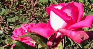 32 Vondelpark Rozenperk 32 Rosa Acapella
