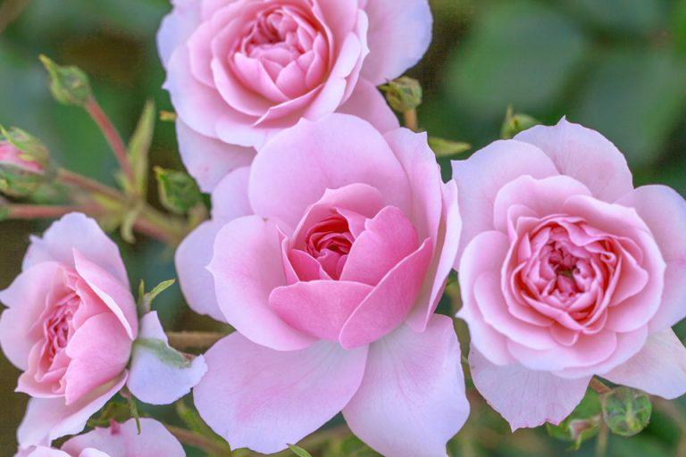 4 Vondelpark Rozenperk 4 Rosa Bonica