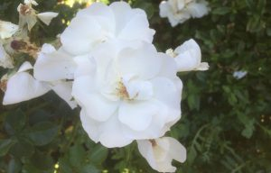 44 Vondelpark Rosarium Rozenperk 44 Rosa Diamond Border