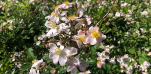 46-Vondelpark-rosarium-rozenperk-rosa-Janny-Vlietstra