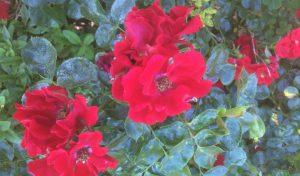 47-Vondelpark-Rosarium-rozenperk47-rosa-Alpengluehen