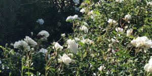 49 Vondelpark Rozenperk 49 Rosa Snow Ballet