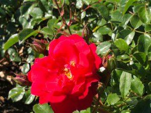53 Vondelpark Rozenperk 53 Rosa Heidefeuer