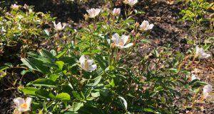 55 Vondelpark Rozenperk 55 Rosa Nozomi