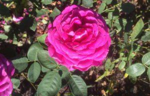 61 Vondelpark Rosarium Rozenperk 61 Rosa Big Purple