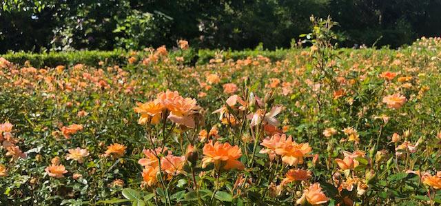 64 Vondelpark Rozenperk 64 Rosa Suntan