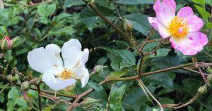 65 Vondelpark Rozenperk 65 Rosa Tapis Volant