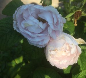68 Vondelpark Rosarium Rozenperk 68 Rosa Louise Bugnet