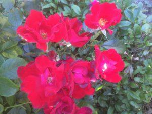 70 Vondelpark Rosarium Rozenperk 70 So Pretty