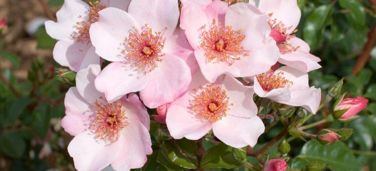 72 Vondelpar Rozenperk 72 Rosa Sweet Pretty