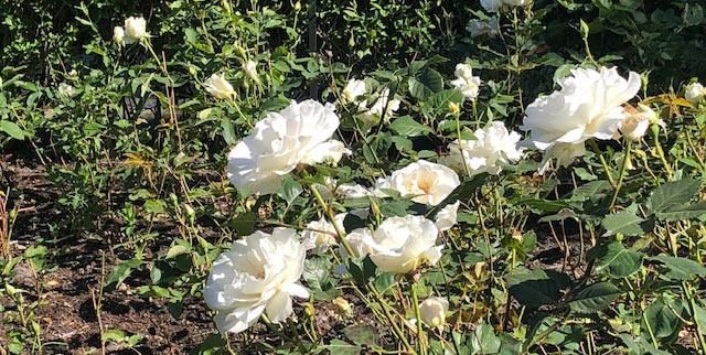 73 Vondelpark Rozenperk 73 Rosa Margaret Merril