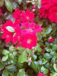 18-Vondelpark-Rosarium-rozenperk18-Rosa 'Cricket'