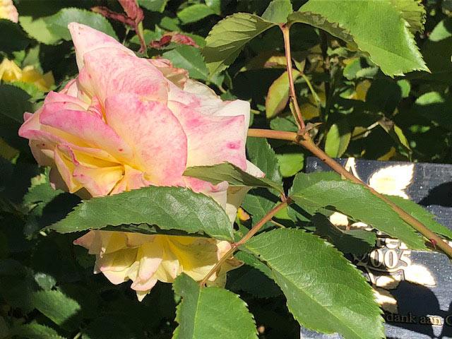 Sterntaler Rosa