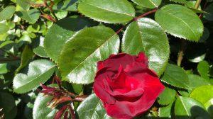 Vondelpark Rosarim Rozenperk 6 So Pretty