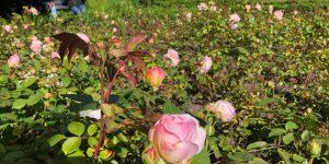 Vondelpark Rosarium Rozenperk 10 Rosa Gruss Aus Aachen