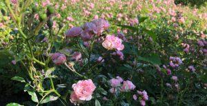 66-Vondelpark-Rosarium-rozenperk-rosa-The-Fairy