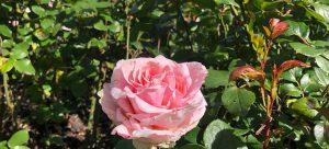 Vondelpark Rosarium Rozenperk48 Rosa André Le Notre