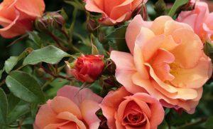 12 Vondelpark Rosarium Rozenperk 12 Aprikola