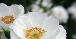 15 Vondelpark Rosarium Rozenperk 15 Innocencia