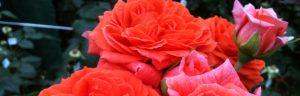 38 Vondelpark Rosarium Rozenperk 38 Orangerie