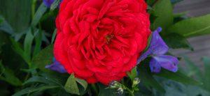 20 Vondelpark Rosarium Rozenperk Out Of Rosenheim