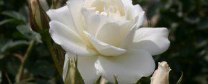 31 Vondelpark Rosarium Rozenperk 31 Schneewittchen