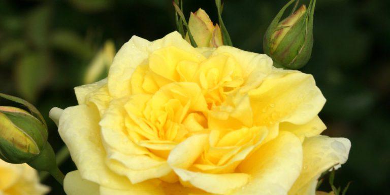 71 Vondelpark Rosarium Rozenperk 71 Sterntaler 1