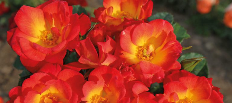 22 Vondelpark Rosarium Rozenperk 22 Summer Of Love